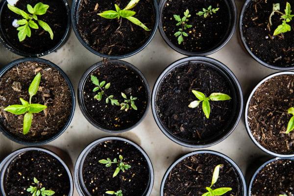 seedlingsinpots-m